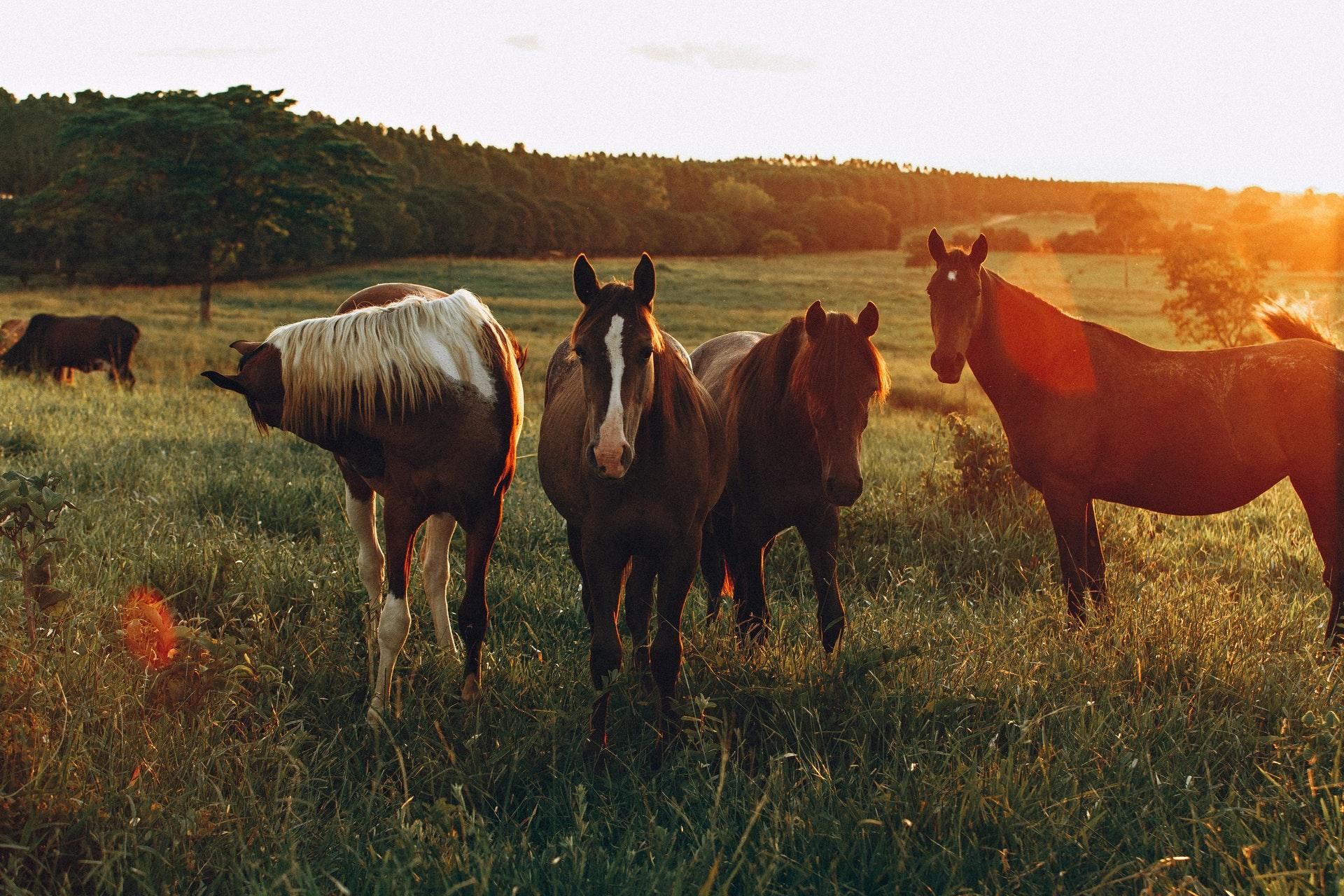 Vemos vários cavalos em um pasto (imagem ilustrativa).